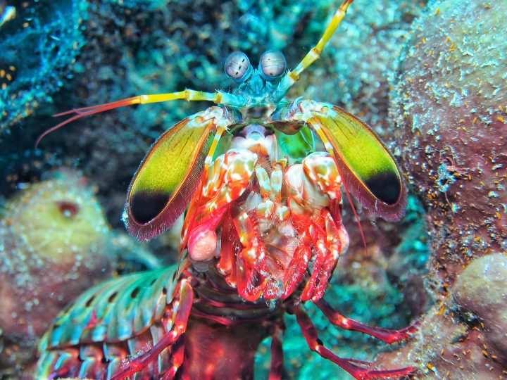 Clown Fangschreckenkrebs / Mantis Shrimps / Odontodactylus scyllarus